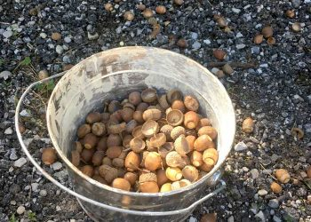 collecting acorns for crafts