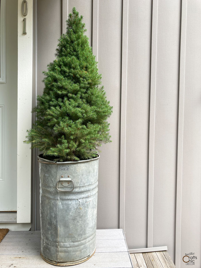 dwarf alberta spruce in container