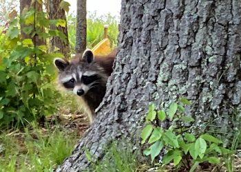 raccoon crafts